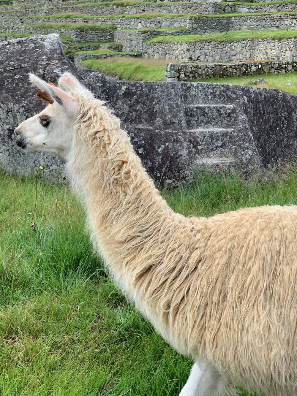 Lama Portrait, Peru